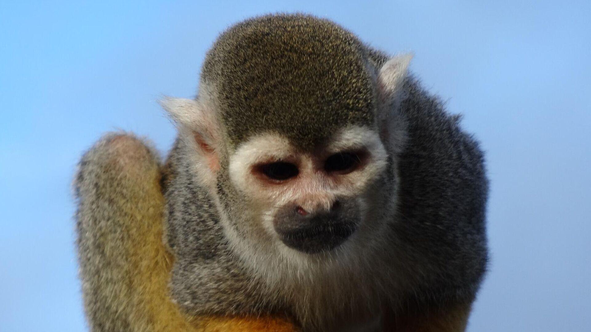 Un mono araña, imagen referencial - Sputnik Mundo, 1920, 28.09.2021