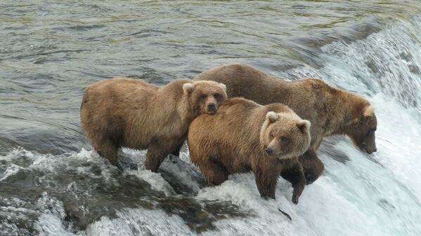 Osos pardos antes de hibernar en el Parque Nacional de Katmai, Alaska, Estados Unidos. - Sputnik Mundo