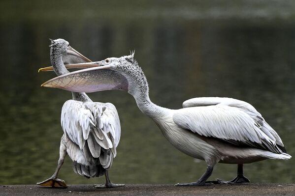 Pelícanos en la orilla de un lago artificial en Colombo, Sri Lanka. - Sputnik Mundo