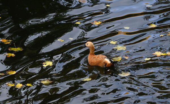 Un pato en un lago del parque Krasnaya Presnya en Moscú. - Sputnik Mundo