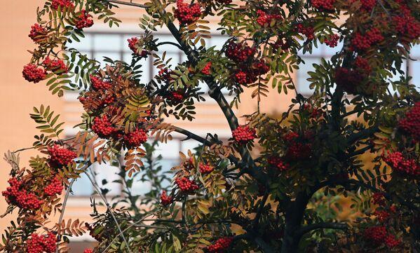 Un serbal en una plaza en la avenida Lenin en Moscú. Los frutos de este árbol a menudo se utilizan en la fabricación del vodka ruso. - Sputnik Mundo
