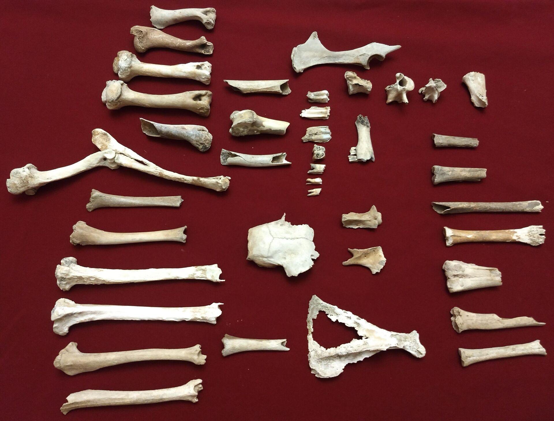 Restos óseos de seis ciervos prehistóricos hallados cerca de San Pedro, provincia de Buenos Aires, Argentina - Sputnik Mundo, 1920, 08.10.2021