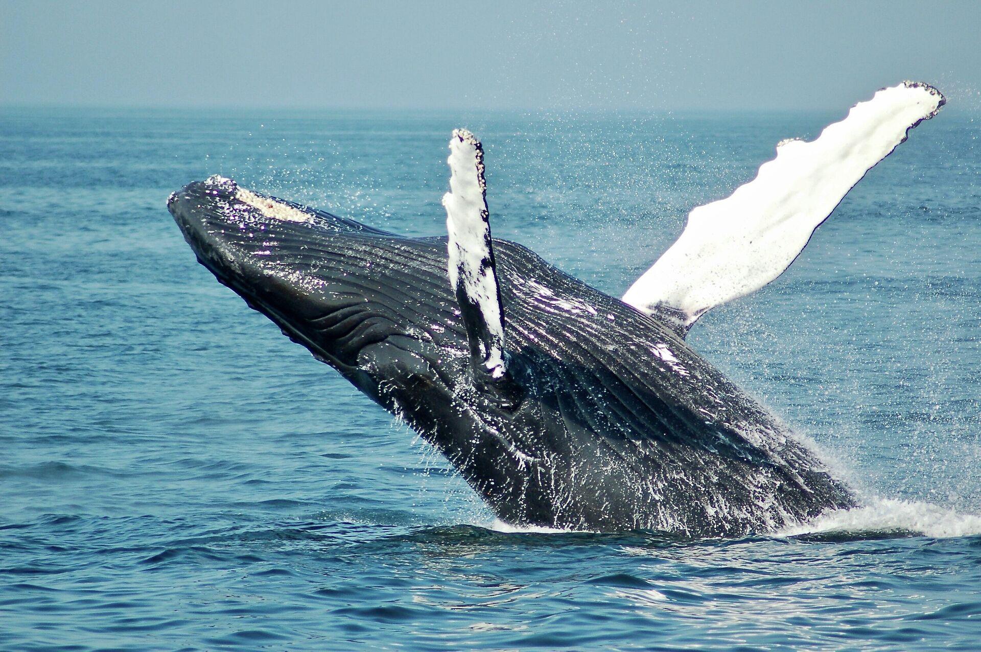 Una ballena jorobada - Sputnik Mundo, 1920, 11.10.2021