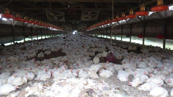 Japón sacrifica a más de 42.000 gallinas por un brote de gripe aviar - Sputnik Mundo