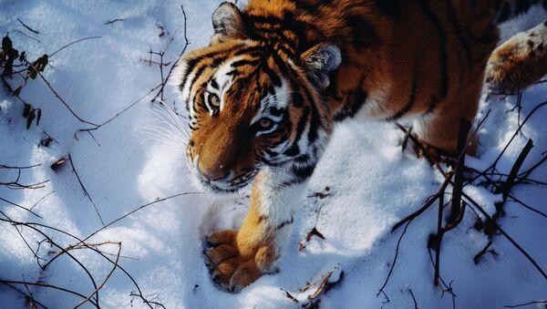 Амурский тигр - Sputnik Mundo