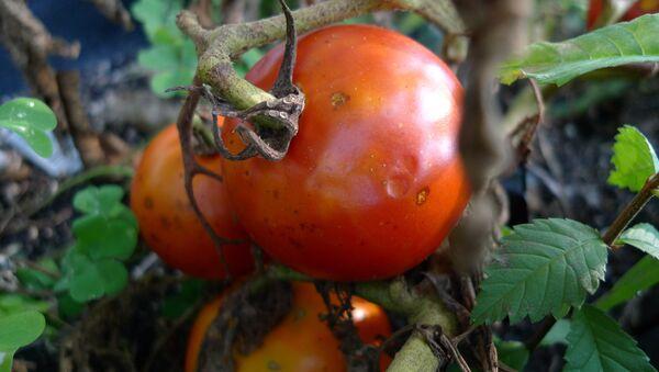 Tomates enfermos por falta de agua - Sputnik Mundo