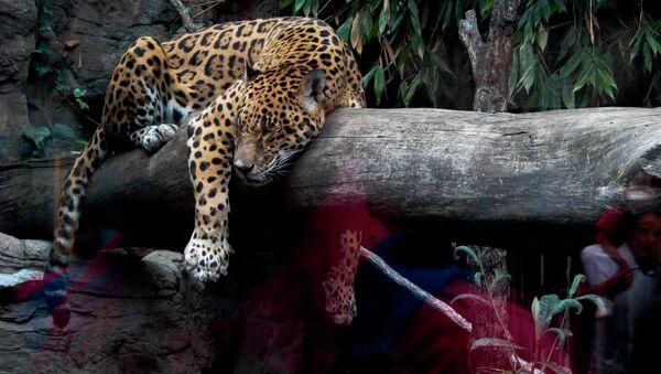 México busca salvar al jaguar sagrado de las culturas aborígenes de América - Sputnik Mundo