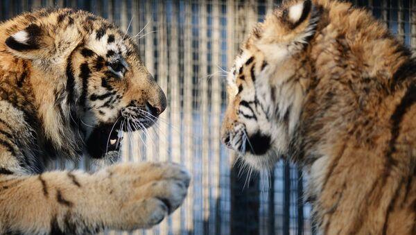 Tigres del Amur - Sputnik Mundo