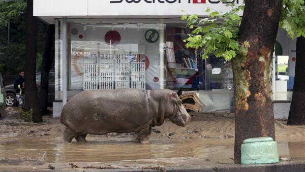 El hipopótamo esta en la calle inundada de Tbilisi - Sputnik Mundo