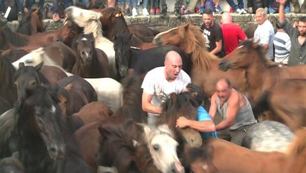Hombres  luchan con caballos salvajes en la Rapa das Bestas - Sputnik Mundo