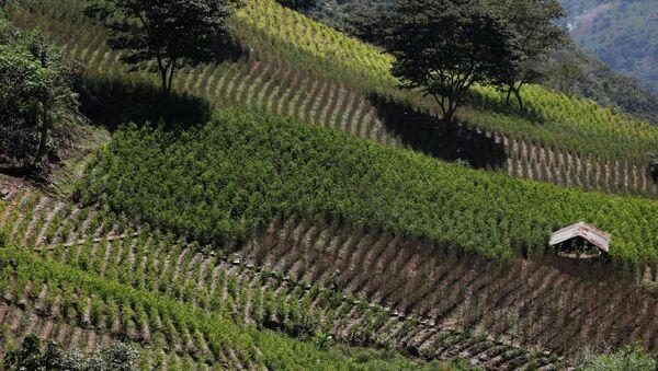 Cultivación de coca en Bolivia - Sputnik Mundo