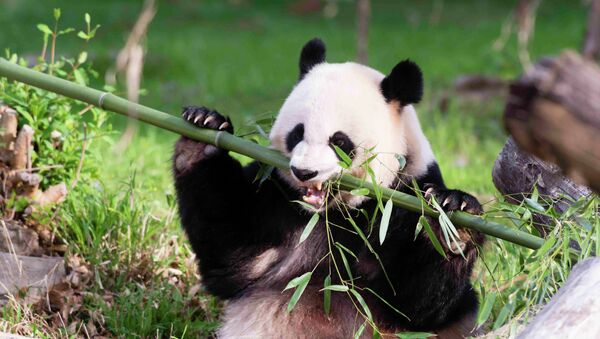 Panda gigante - Sputnik Mundo