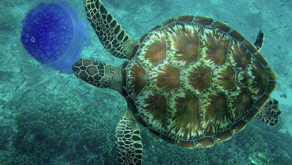 Tortuga marina - Sputnik Mundo