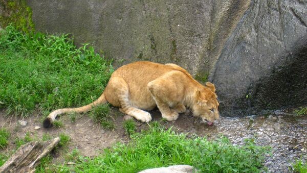 León en zoo de Odense - Sputnik Mundo