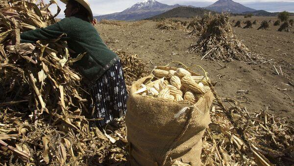Cultivo de maíz en México - Sputnik Mundo