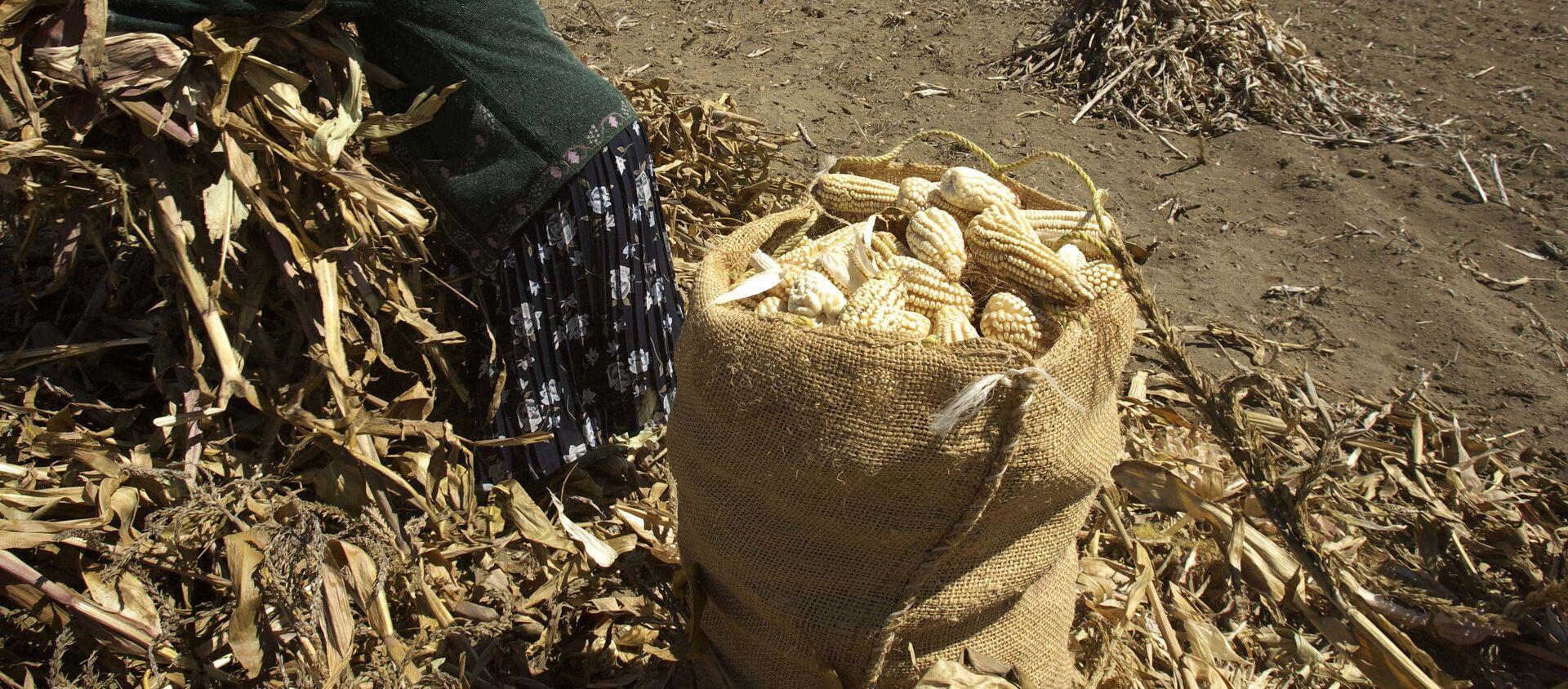 Cultivo de maíz en México - Sputnik Mundo, 1920, 30.06.2020