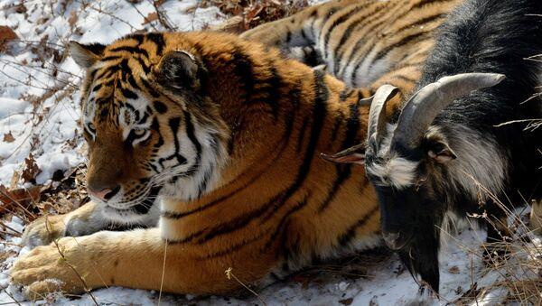 В Приморском Сафари-парке амурский тигр подружился с козлом - Sputnik Mundo