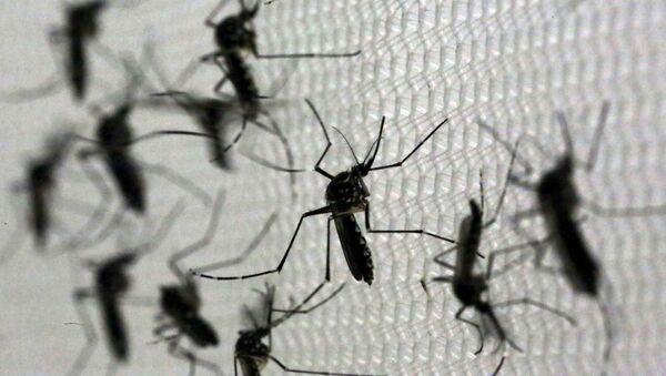 Mosquitos Aedes aegypti, portadores del virus Zika - Sputnik Mundo