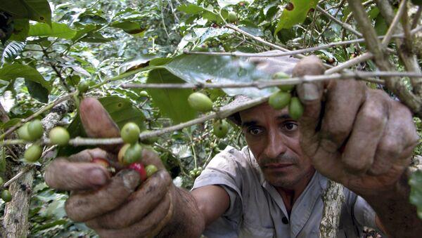 Campesino cubano recolecta granos de café - Sputnik Mundo