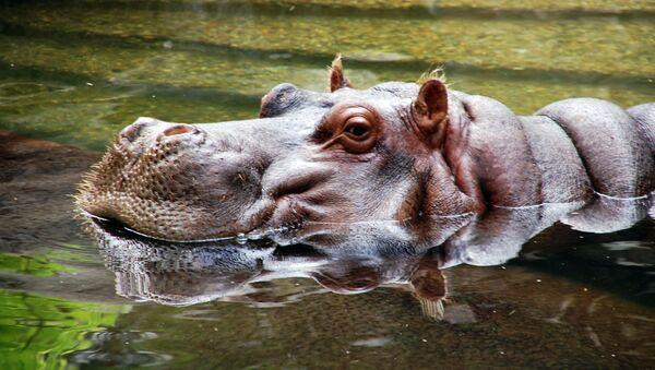 Un hipopótamo - Sputnik Mundo