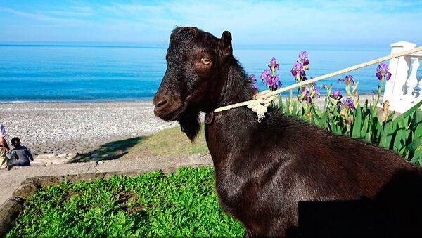 Obama The Goat - Sputnik Mundo