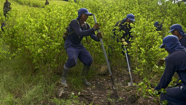 Erradicación de cultivos de coca en Colombia por parte de campesinos (archivo) - Sputnik Mundo