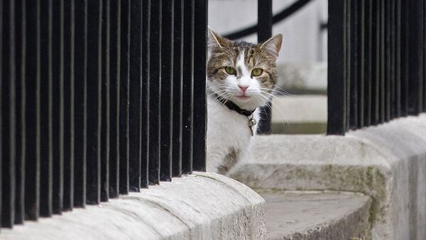 Larry, cat of British Prime Minister David Cameron, sits on the step outside 10 Downing Street in London on May 9, 2015. - Sputnik Mundo