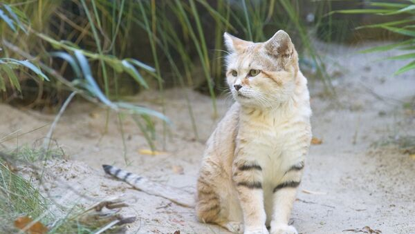 El gato árabe de las arenas, el Felis margarita harrisoni (Archivo) - Sputnik Mundo