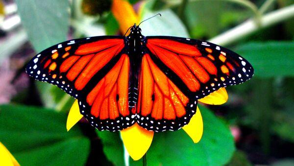 La mariposa monarca - Sputnik Mundo