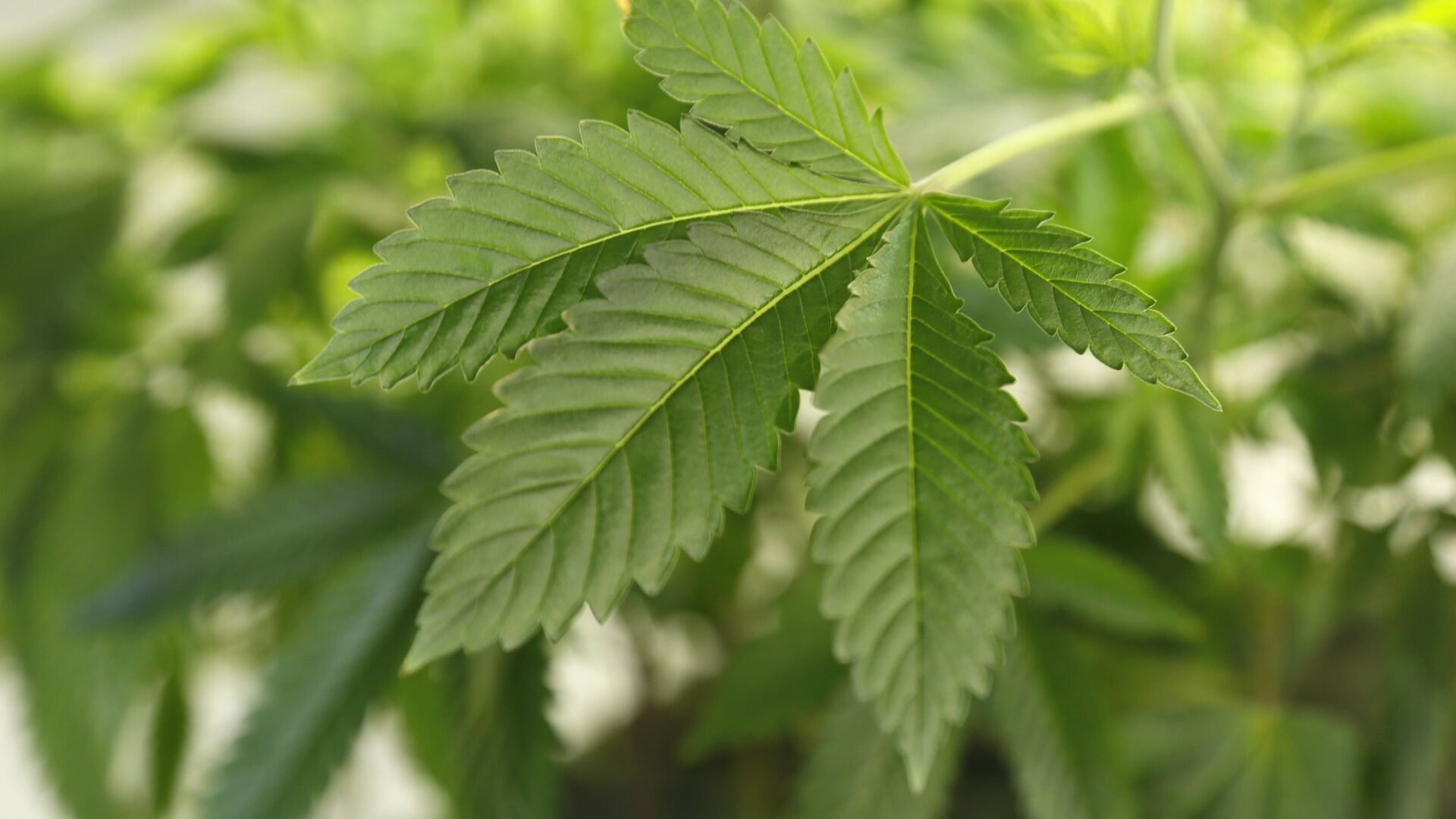 A thriving marijuana plant is seen at a grow operation in Denver, Colorado  - Sputnik Mundo, 1920, 04.08.2021