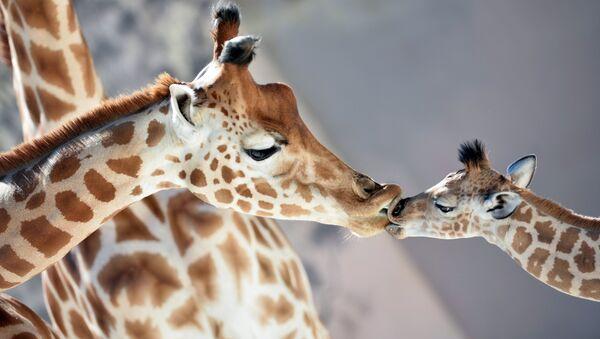 Una cría de jirafa nació a finales de agosto en el zoológico de La Flèche, en Francia. Es muy cariñosa y le encanta dar besos. - Sputnik Mundo
