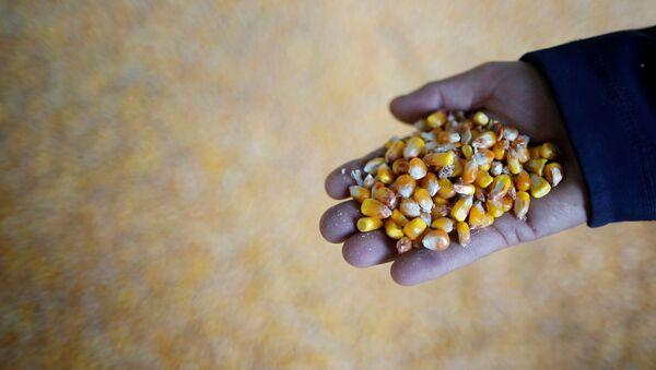Cosecha de maíz después de sequía - Sputnik Mundo