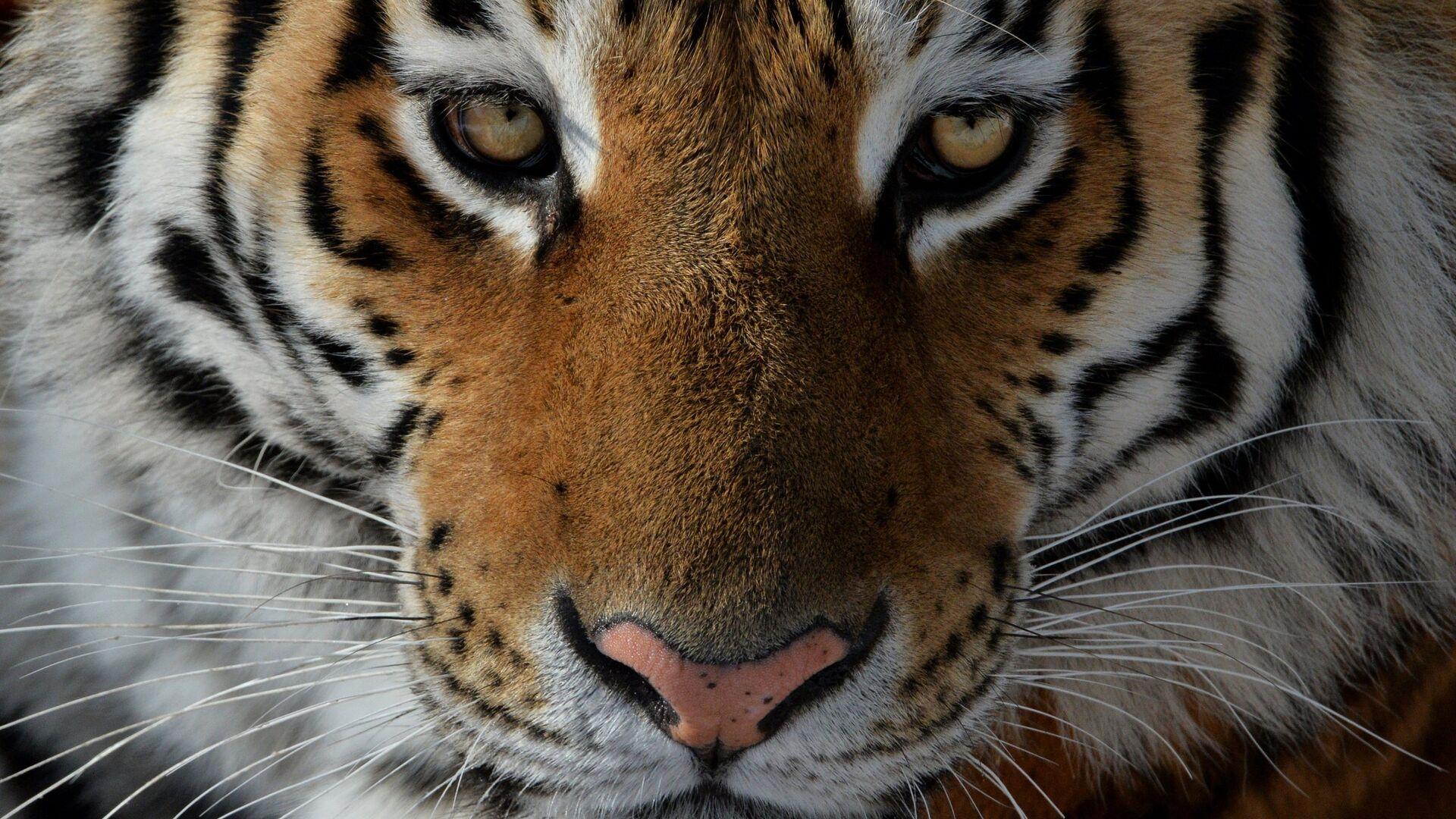 Un tigre (imagen referencial) - Sputnik Mundo, 1920, 27.09.2021