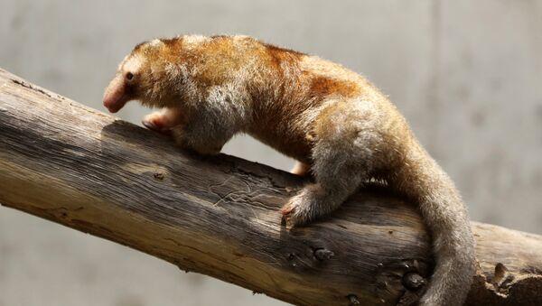Fredy, el pequeño oso hormiguero pigmeo del zoológico peruano de Huachipa - Sputnik Mundo