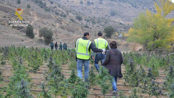 Agentes de la Guardia Civil inspeccionan la plantación de marihuana descubierta en Aragón - Sputnik Mundo
