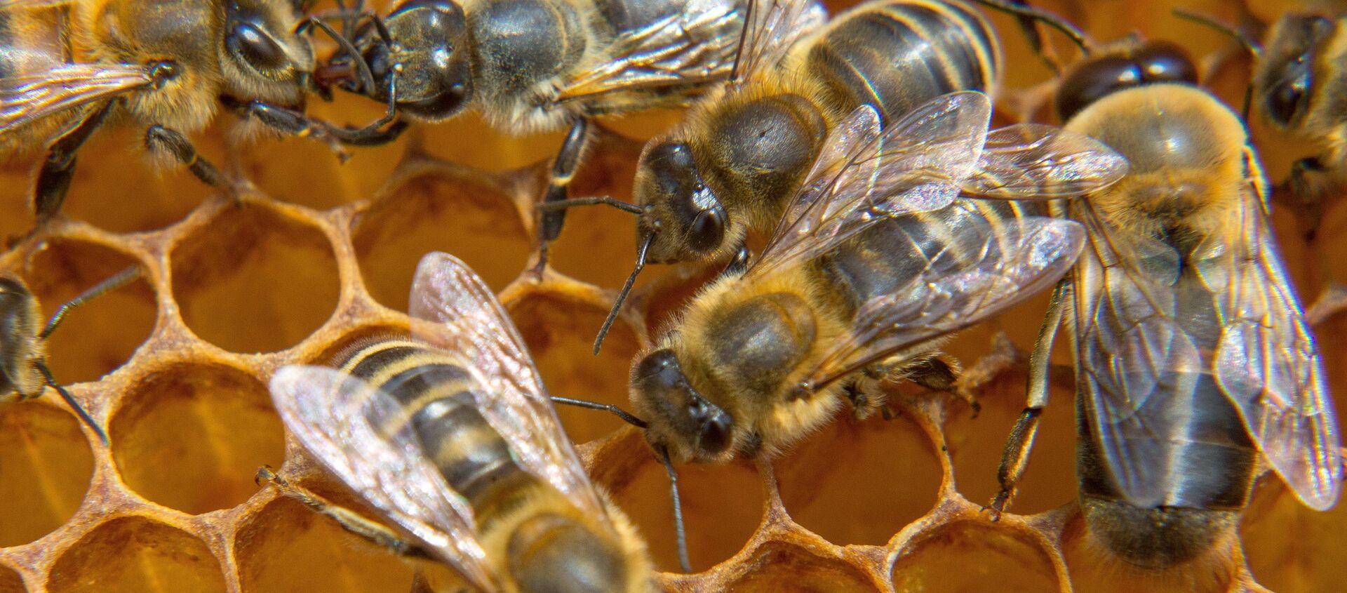 Una colmena de abejas (imagen referencial) - Sputnik Mundo, 1920, 21.05.2020