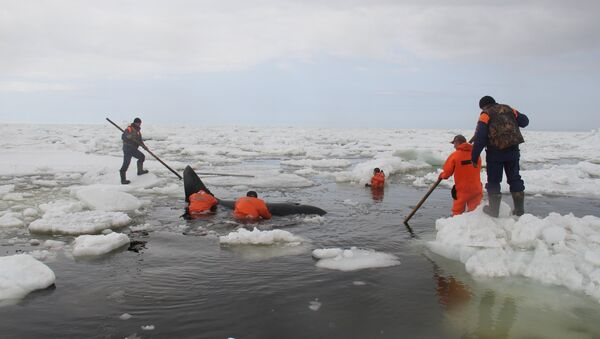 Операция по спасению косаток, зажатых во льдах в Охотском море - Sputnik Mundo