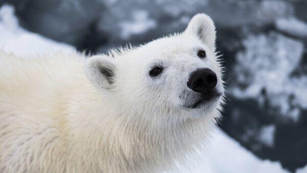 Oso polar - Sputnik Mundo