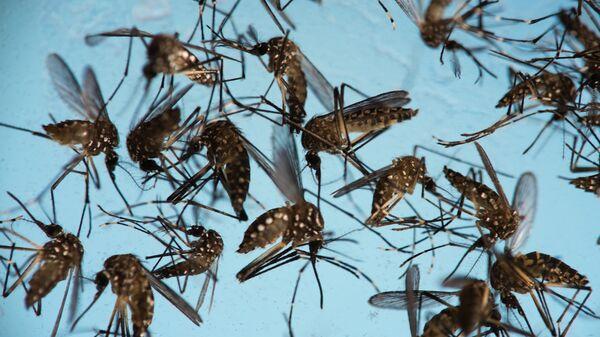 Mosquitos Aedes aegypti, causantes del Zika - Sputnik Mundo
