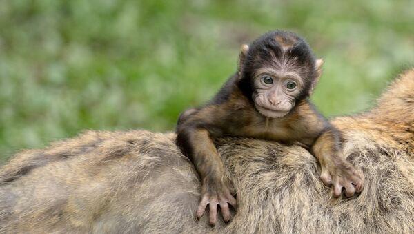 La comunidad de los monos muestra señales de una compleja jerarquía que es digna de competir con la de los humanos - Sputnik Mundo