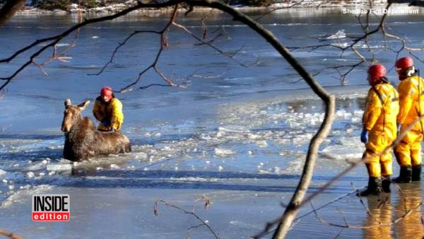 Bomberos canadienses salvan a un alce que cayó en un lago congelado - Sputnik Mundo