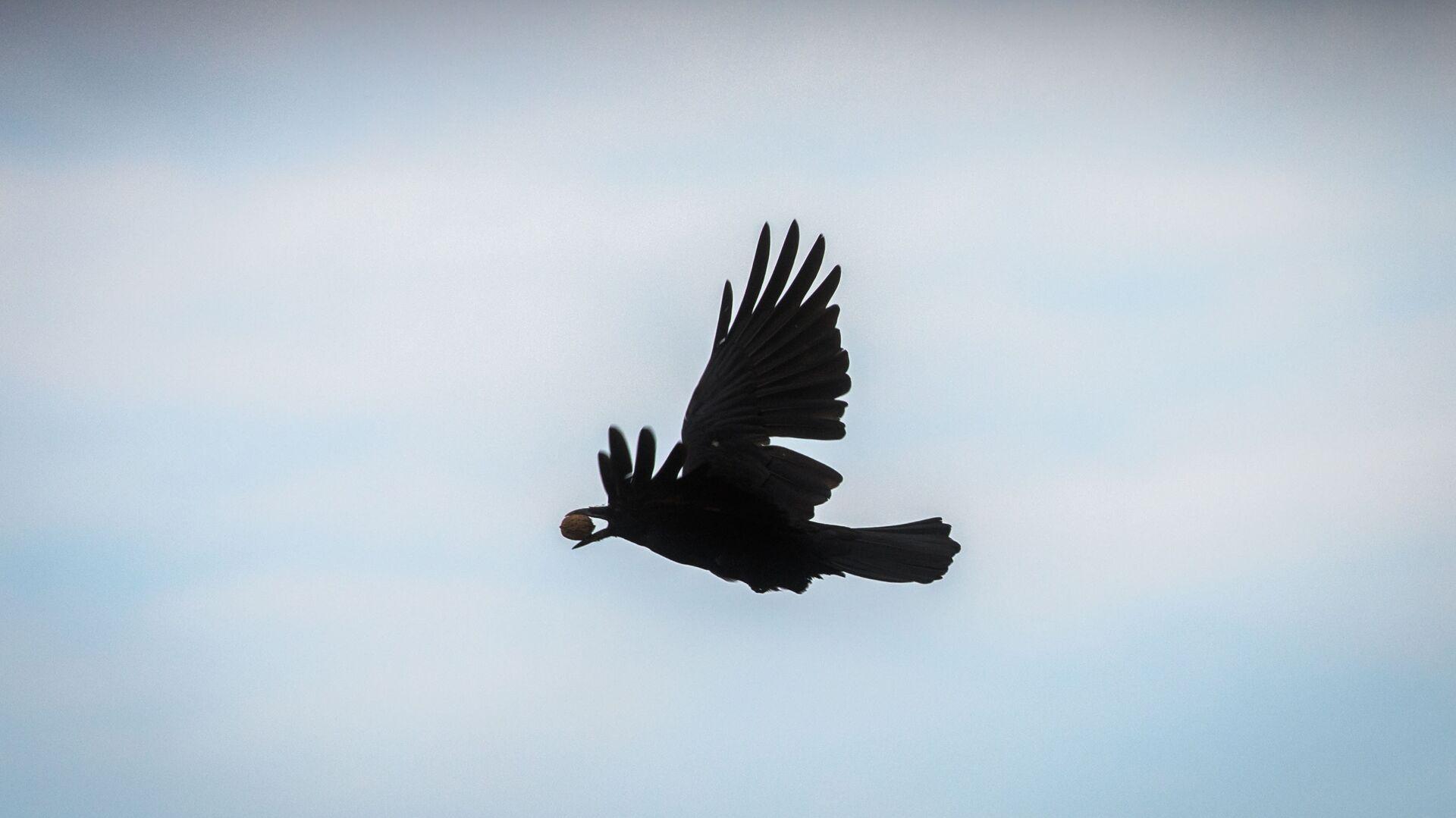 Un cuervo volando (imagen referencial) - Sputnik Mundo, 1920, 25.09.2021