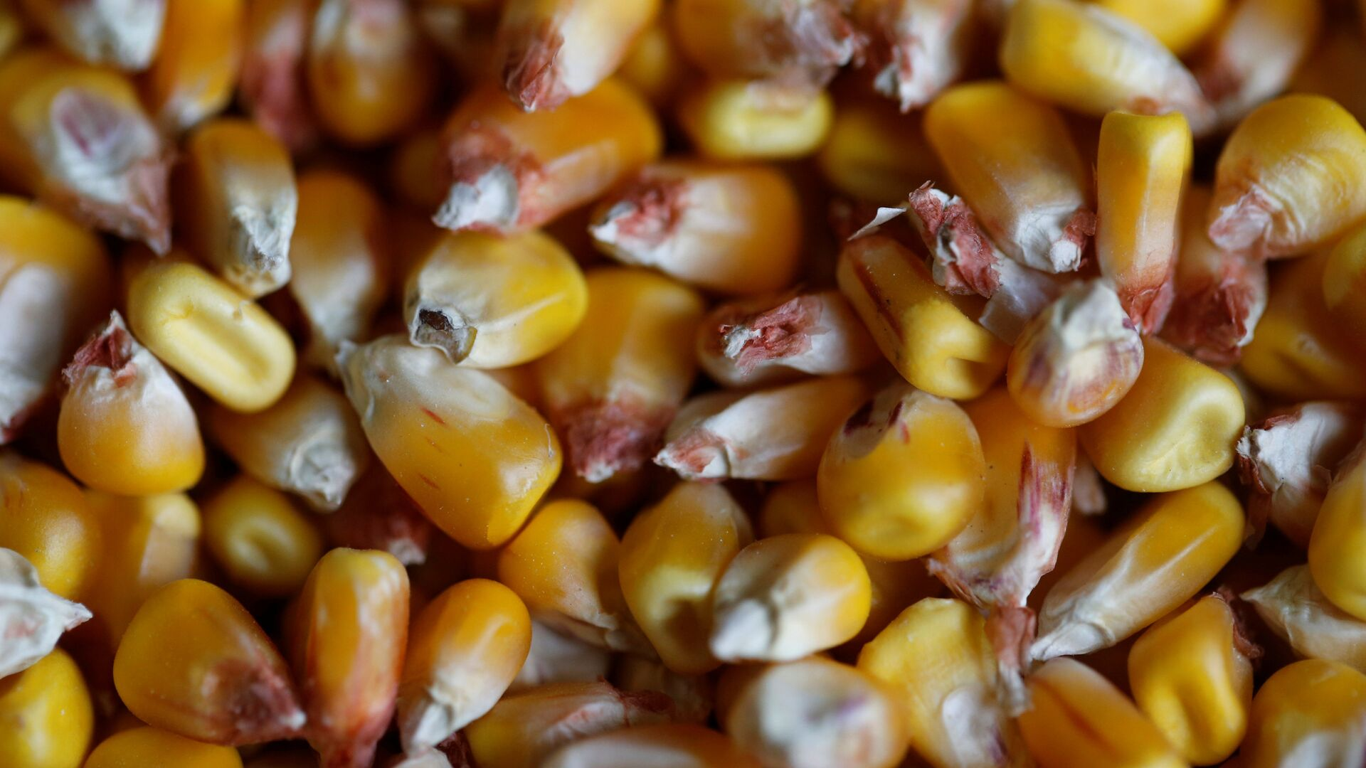 Granos de maíz (imágen referencial) - Sputnik Mundo, 1920, 14.10.2021