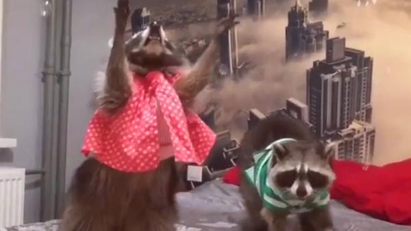 Los mapaches Fury y Funny - Sputnik Mundo