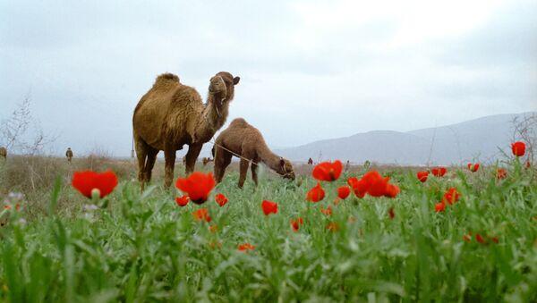 Camellos en Turkmenistán - Sputnik Mundo