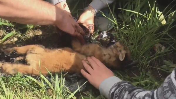 Salvan la vida de una cría de zorro atascada en un charco de betún - Sputnik Mundo