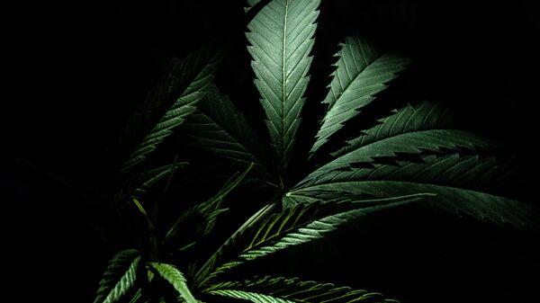 Marihuana (imagen referencial) - Sputnik Mundo
