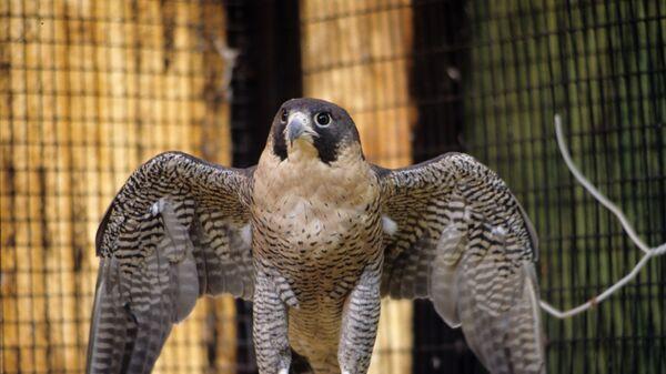 Un halcón peregrino - Sputnik Mundo