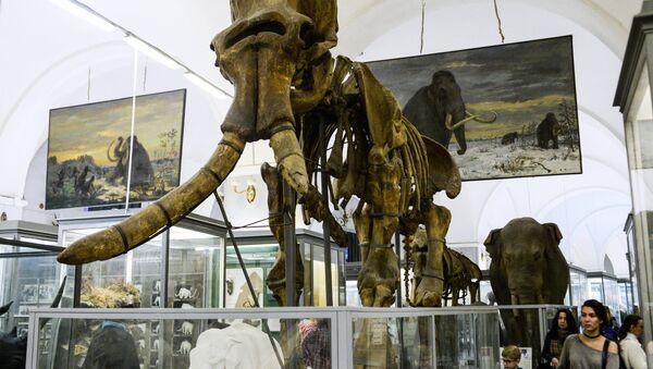 El esqueleto de mamut en un museo (imagen referencial) - Sputnik Mundo