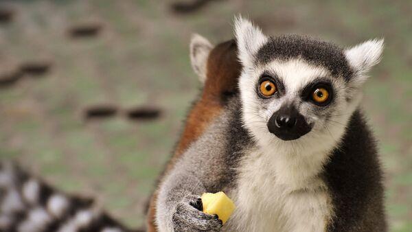 ¡Qué rico! Tigres y lémures disfrutan de sabrosos helados - Sputnik Mundo